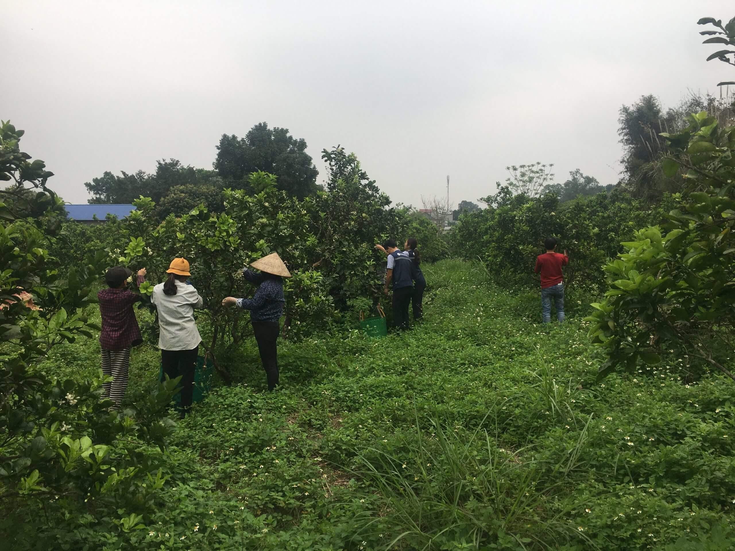 VietEssence tham gia thu hoạch hoa bưởi cùng bà con nông dân
