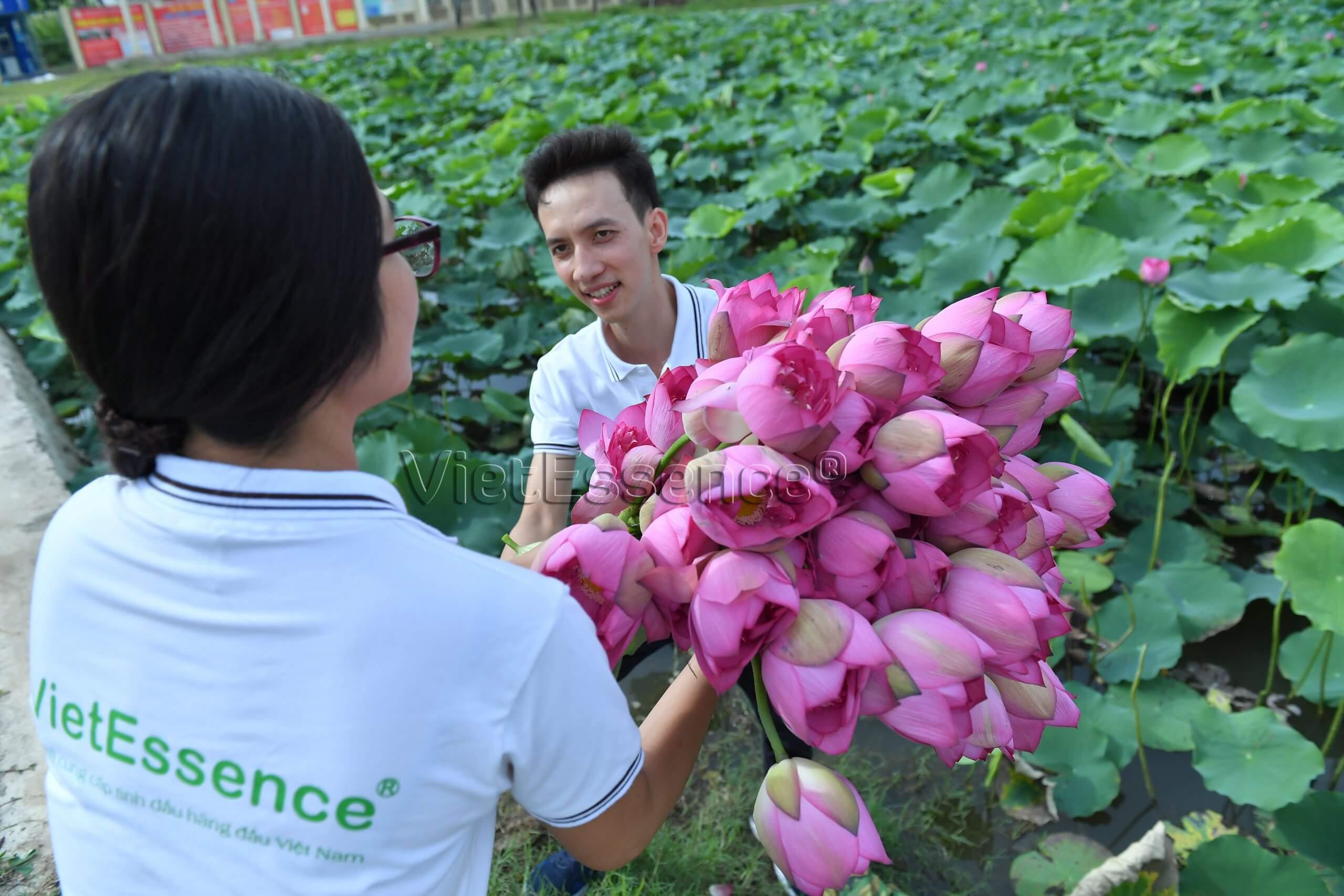thu hoạch hoa sen