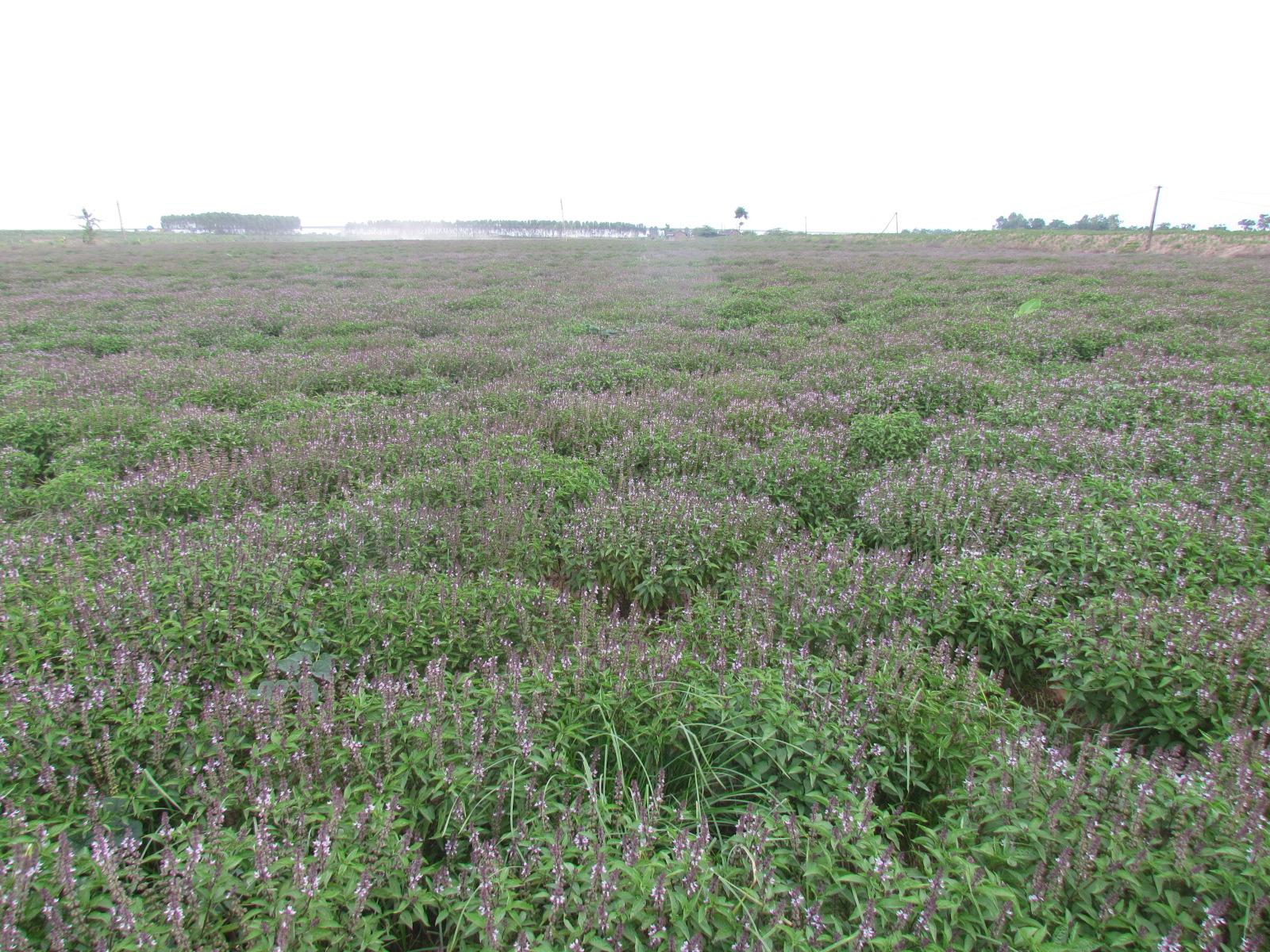 Một vườn húng quế tại Hà Nam